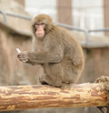 Free Japanese Macaque Royalty Free Stock Images - 4767359
