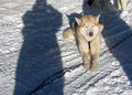 Free Husky Dog Royalty Free Stock Images - 4767589