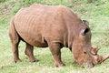 Free Rhino Portrait Royalty Free Stock Images - 4769379