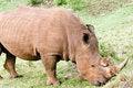 Free Rhino Portrait Royalty Free Stock Photo - 4769385