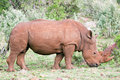 Free Rhino Portrait Royalty Free Stock Images - 4769459