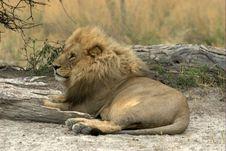 Free Lion Stock Photo - 4760560