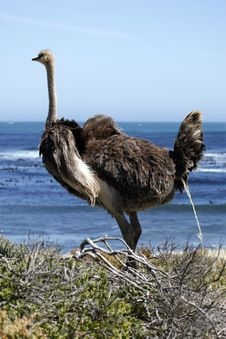 Southern Ostrich Struthio Camelus Royalty Free Stock Photography