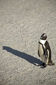 Free Penguins At Boulders Beach Royalty Free Stock Photos - 4761948