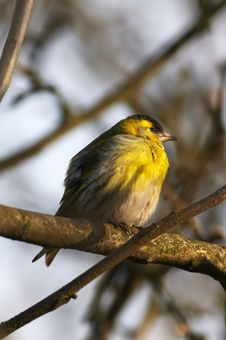 Free Siskin Royalty Free Stock Photography - 4762447