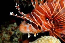 Free Lionfish Royalty Free Stock Image - 4764606