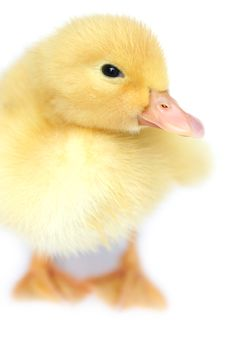 Free The Nice Small Yellow Goose Royalty Free Stock Photo - 4764965