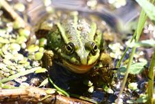Free The Green Frog Sits In Water In The Afternoon Stock Images - 4765034