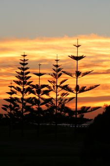 Free Sunset Pines Royalty Free Stock Photo - 4766165
