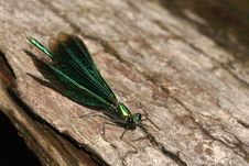 Free Metallic Green Dragonfly Royalty Free Stock Photos - 4766448
