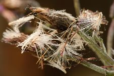 Free Thistle With Dew Drops Stock Images - 4766474