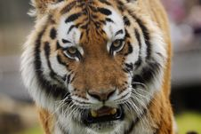 Beautiful Tiger Royalty Free Stock Photos