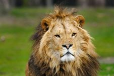 Free African Male Lion Royalty Free Stock Images - 4766579