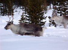Free Reindeer Royalty Free Stock Photos - 4766598