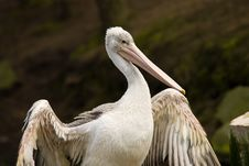 Free Pelican Stock Images - 4766644