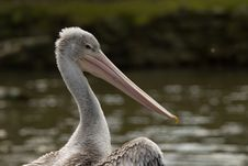 Free Pelican Royalty Free Stock Photography - 4766667
