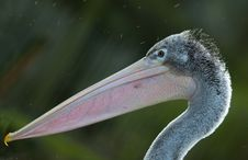 Free Pelican Stock Images - 4766714