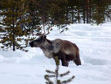 Free Reindeer Stock Image - 4767011