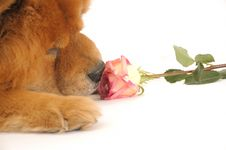 Free Chow-chow And Rose Stock Images - 4767334
