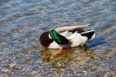 Free Duck Cleaning Plumage Stock Photo - 4767790
