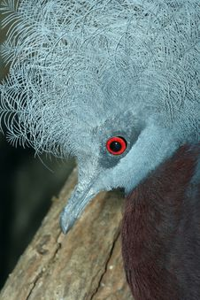 Free Portrait Of Crowned Pigeon Stock Photography - 4768692