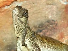 Free Portrait Of Lizard Royalty Free Stock Photo - 4768705