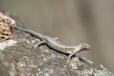 Free Mabuia Lizard Royalty Free Stock Photo - 4768965