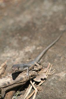 Free Mabuia Lizard Stock Image - 4769031