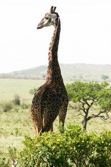 Free Giraffe Looking Around Stock Photo - 4769070