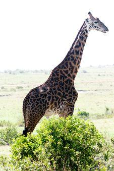 Free Giraffe Looking Around Royalty Free Stock Photo - 4769105