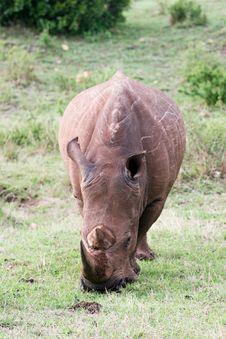 Free Rhino Portrait Stock Photos - 4769293