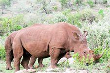 Free Rhino Portrait Stock Photos - 4769503