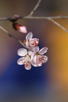 Free Peach Trees In Blossom Royalty Free Stock Images - 4769869