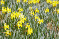 Free Yellow Daffodils Stock Photo - 4775390