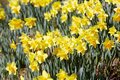 Free Yellow Daffodils Stock Photos - 4775403
