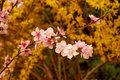 Free Cherry Flower Royalty Free Stock Photos - 4777018