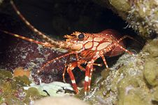 Free Red Banded Lobster Stock Photo - 4770740