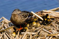 Free Mallard Duck With Kids Royalty Free Stock Images - 4771129