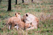 Free Lion And Cubs Royalty Free Stock Photos - 4771438