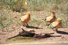 Free Egyptian Vulture, Socotra Island Royalty Free Stock Image - 4772076