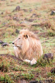 Free A Sleepy Lion Stock Photos - 4772163