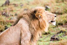Free A Sleepy Lion Stock Photo - 4772170