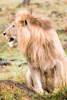 Free A Sleepy Lion Royalty Free Stock Photos - 4772208
