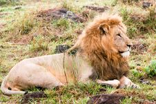 Free A Sleepy Lion Stock Photo - 4772270