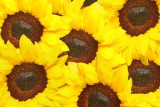 Free Sunflowers Royalty Free Stock Photo - 4772625