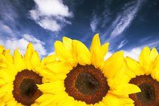 Free Sunflowers Stock Image - 4772801