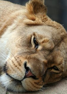 Free Lioness Stock Photography - 4773192