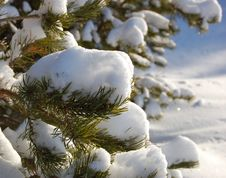 Free Snow On Branches Of A Pine Stock Images - 4773894