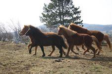 Free Iceland Horses Toelting Stock Image - 4773971
