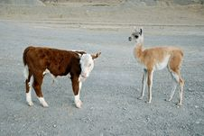 Free Baby S Guanaco And Calf Bull Royalty Free Stock Photos - 4775218